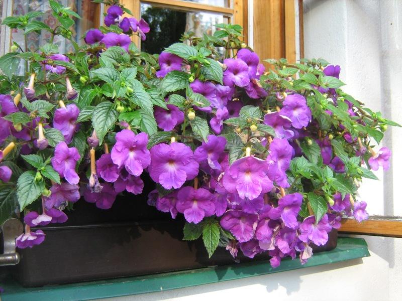 Ахименес  цветето за всеки дом или градина  Arzid